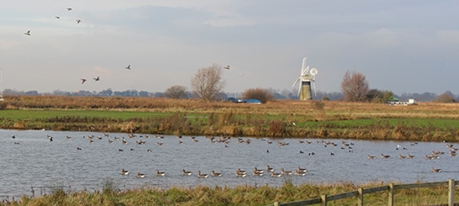Windmill and waterfowl, Thurne, Norfolk