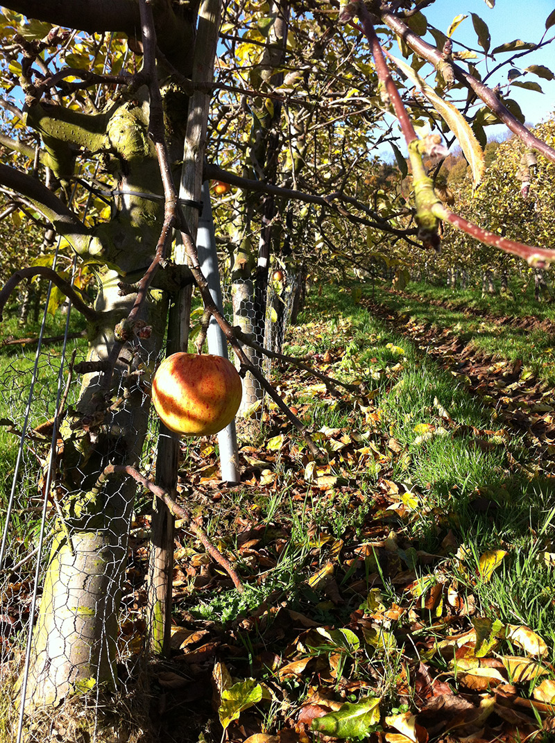 late apple still on the tree