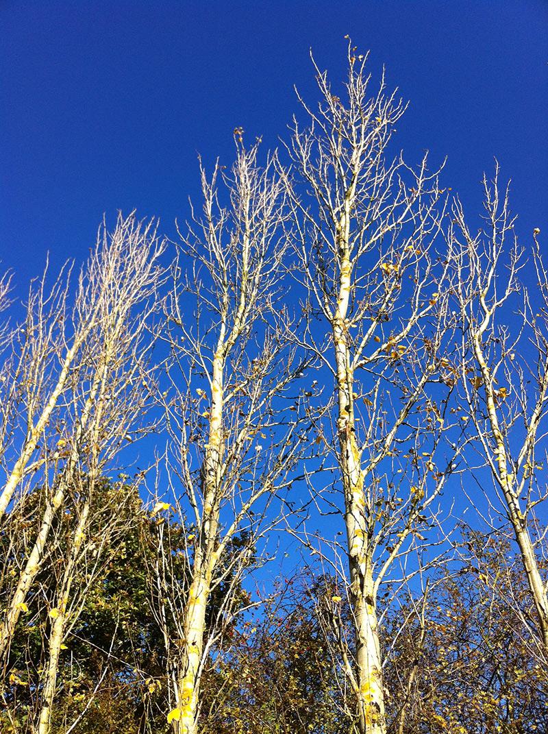 winter birches
