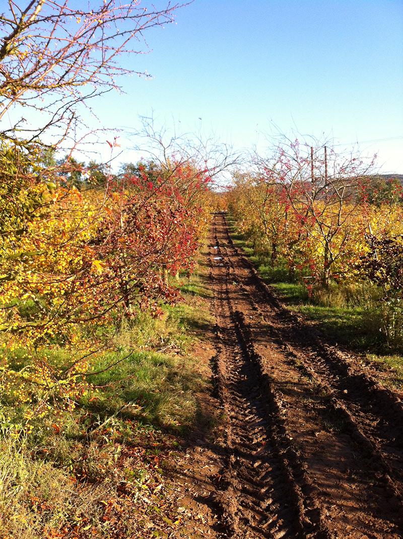 track through apple orchard