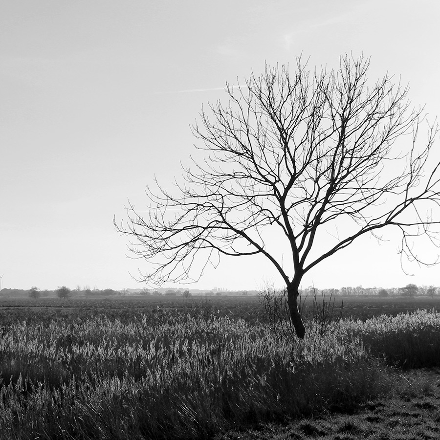 Bare winter tree amongst Norfolk reed