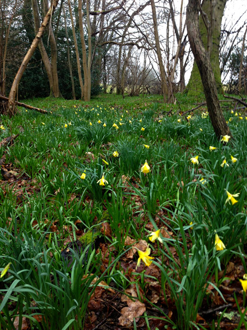 daffodils, Horsham