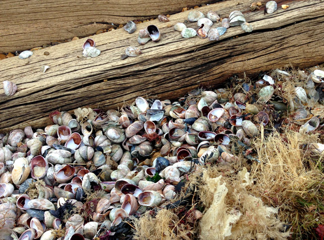 limpet shells on the beach