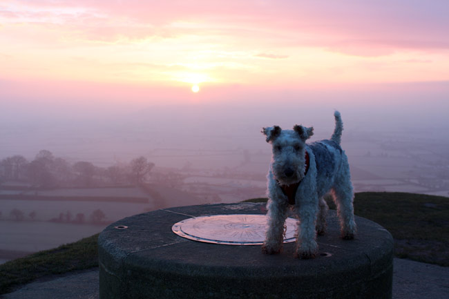 Fox terrier on Glastonbury Tor