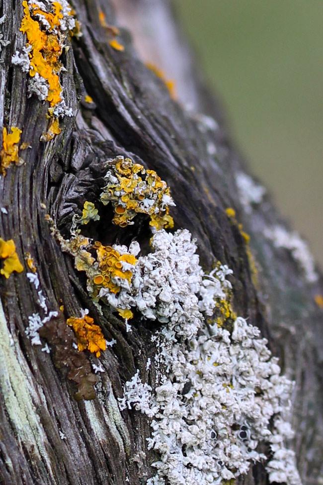 Lichens, Purton hulks