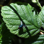 bluebottle on leaf