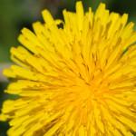 close up dandelion flower