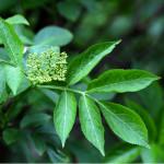 Elder leaf with flower buds