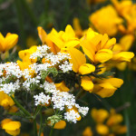 pignut and gorse flowers (with spider and fly)