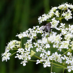 pignut with fly