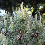 pine tree with pine cones