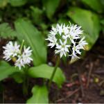 Ransoms - wild garlic