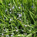 speedwell in grass