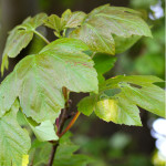 young sycamore leaves