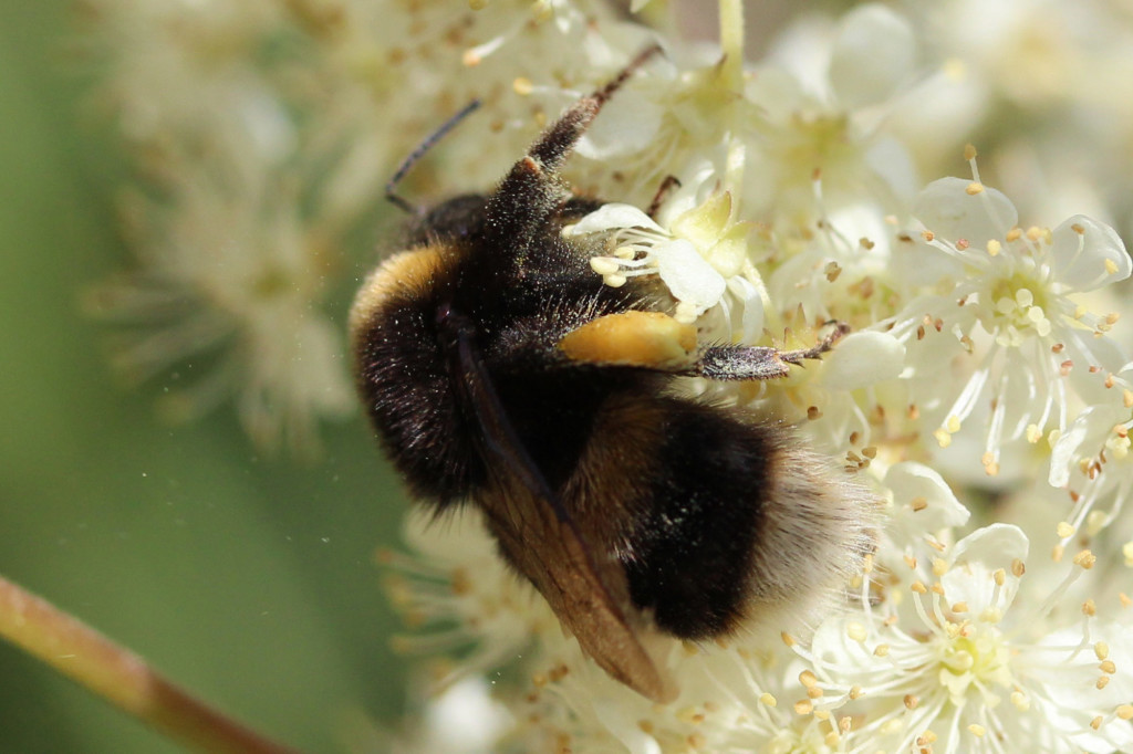 white-tailed bumble bee on meadowsweet