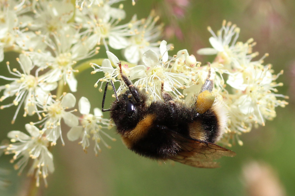 white-tailed bumble bee on meadowsweet flowers