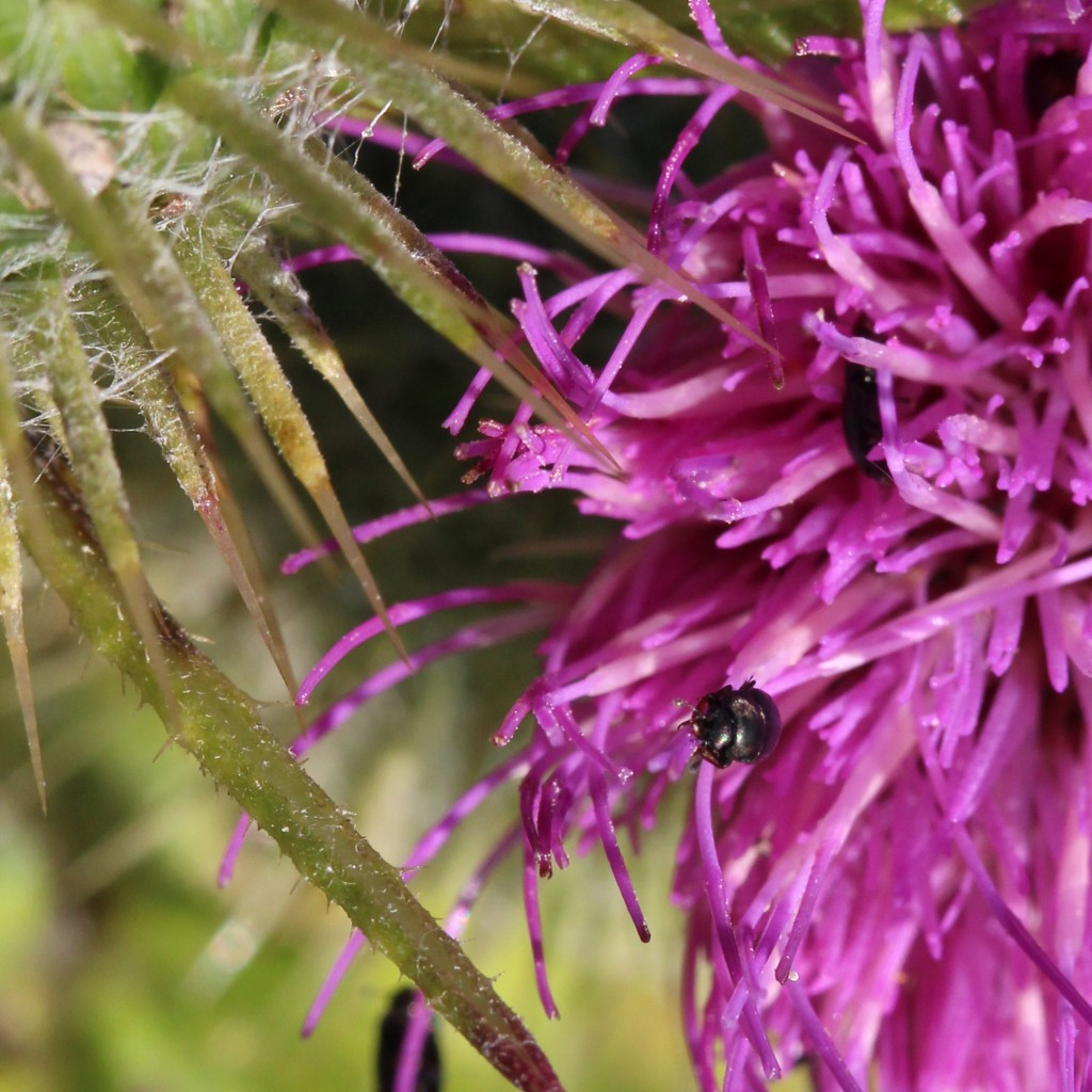 bloody-nosed beetle on thistle