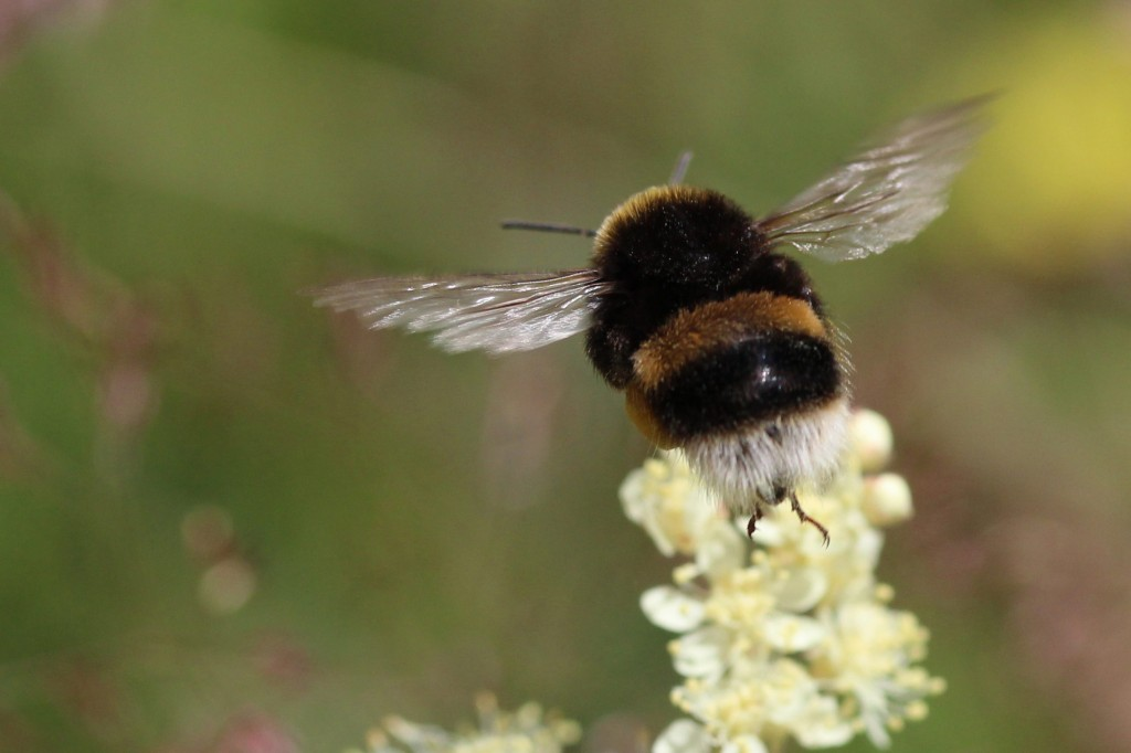white-tailed-bumblebee-about-to-land