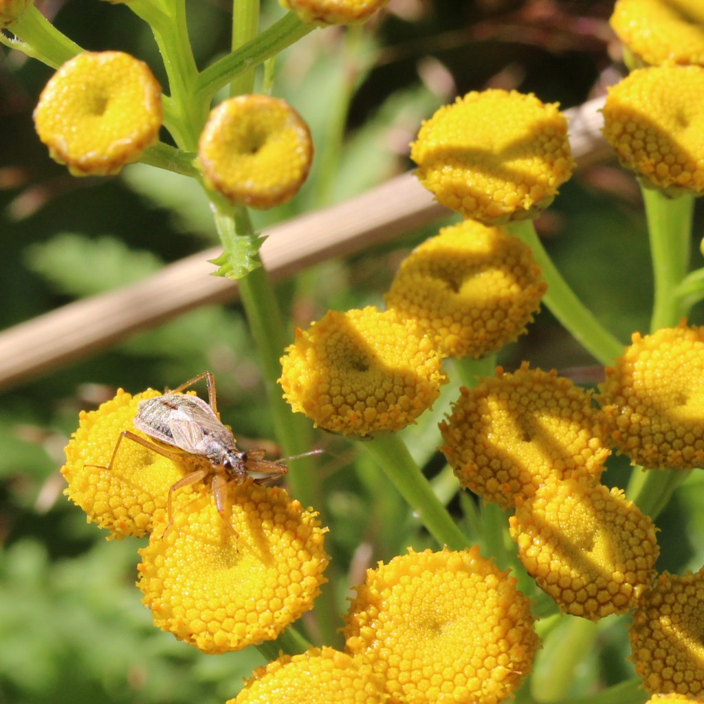 common damsel bug on tansy