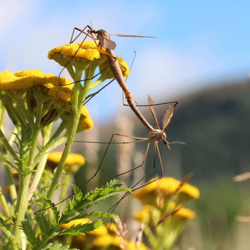 mating craneflies on tansy