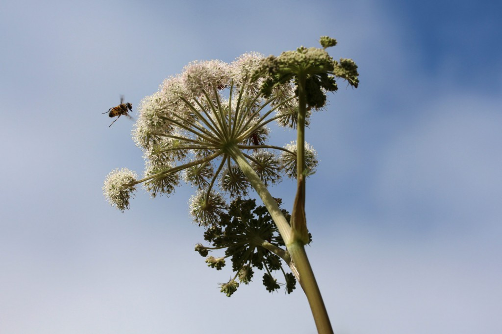 honey bee or hover fly in flight