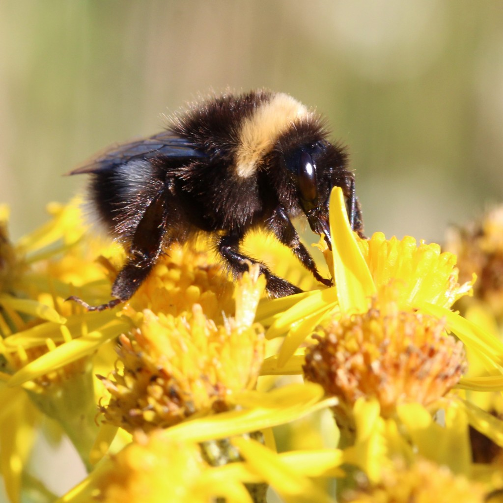 white-tailed bumblebee on ragwort