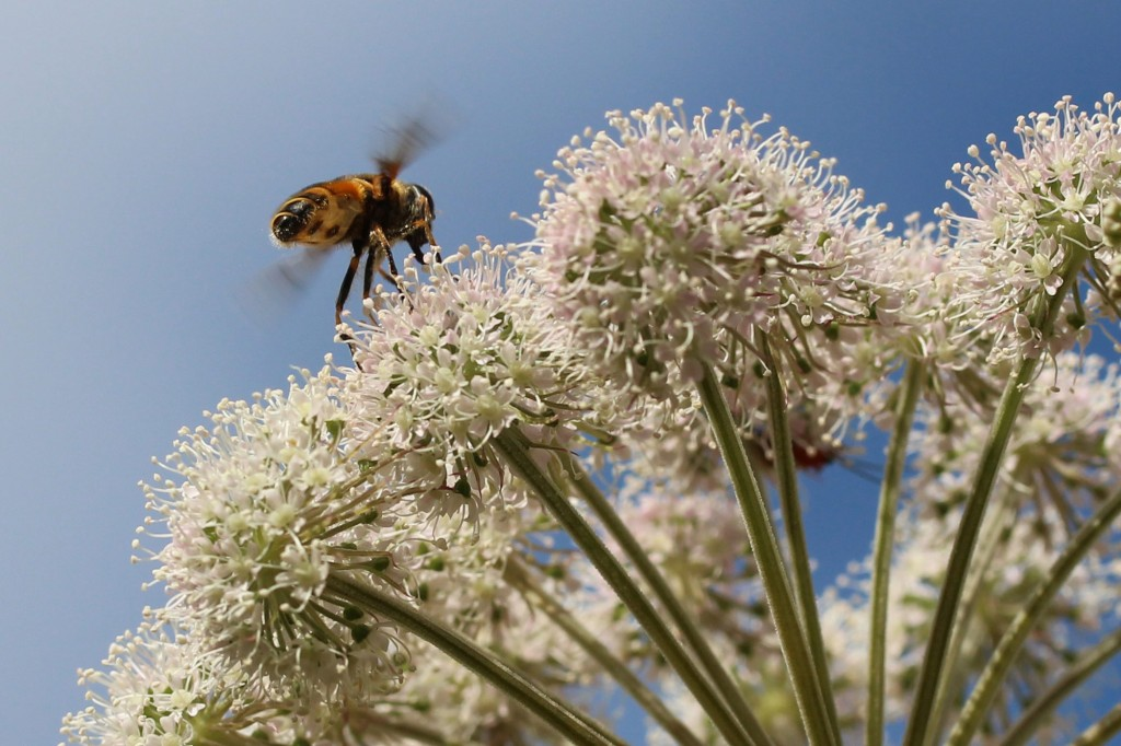 hoverfly about to land on cow parsley
