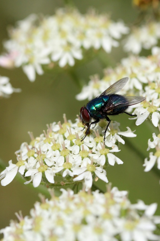 iridescent blue fly on cow parsley